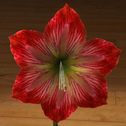 Amarylis czerwień + biel 3D