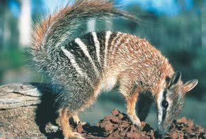 Animal Emblems of Australia: Western Australia