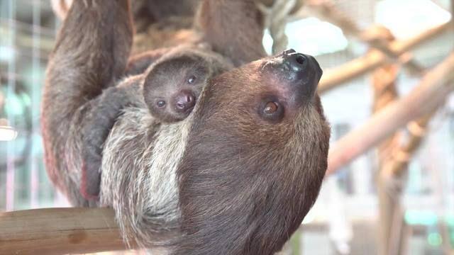cute sloths | CUTE ALERT: 2 baby sloths born at Busch Gardens - Story | FOX 13 Tampa ...