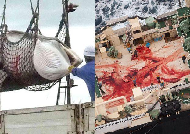 Japończycy zabili 333 płetwale! 200 samic było w ciąży! // http://www.pudelek.pl/artykul/90802/japonczycy_zabili_333_pletwale_200_samic_bylo_w_ciazy_uwaga_drastyczne_zdjecia/9/#comment_56f8512fe33b3946268b4579