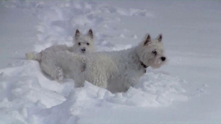 Funny Westie Dogs Play in Snow
