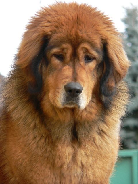 Tibetan mastiff     What happens when a grizzly bear mates with a golden retriever ;o)