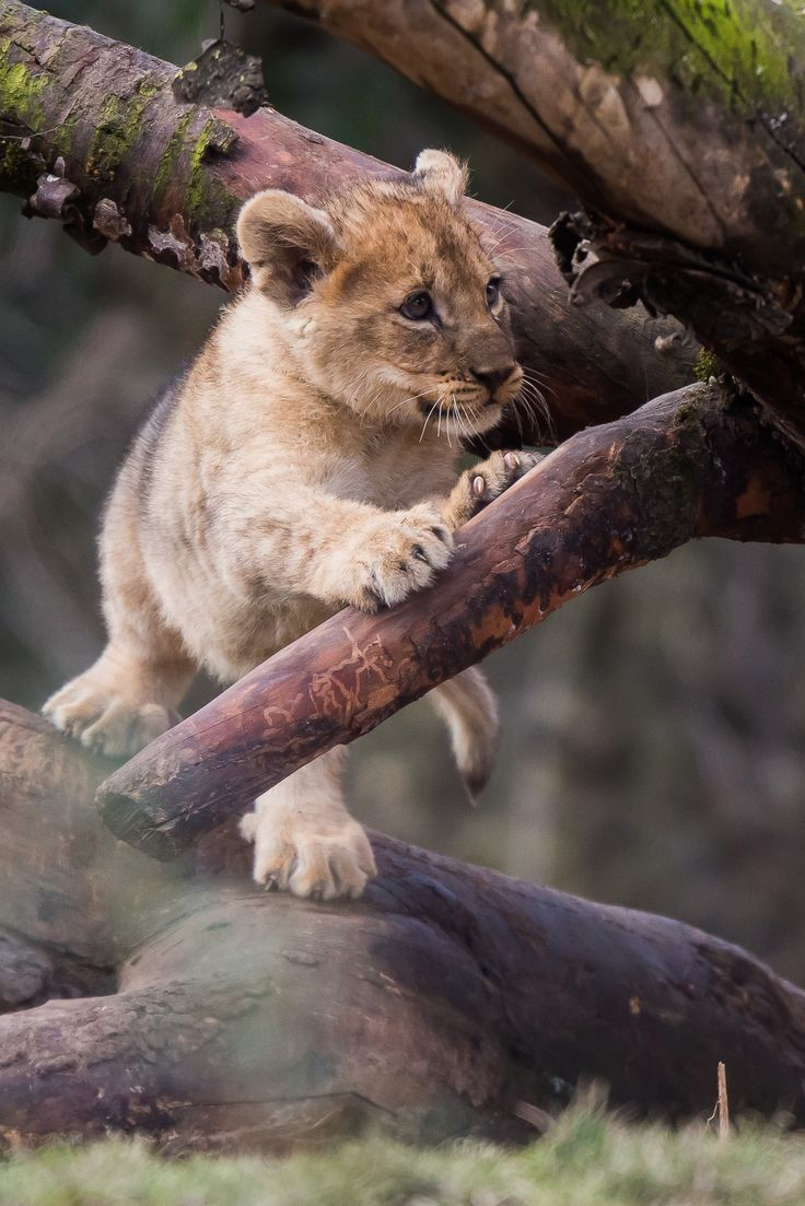 Beautiful Lion Cub Perched in the Trees | Animals