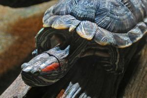 Red-eared slider turtle (trachemys scripta elegans) - woodleywonderworks/Creative Commons/Flickr