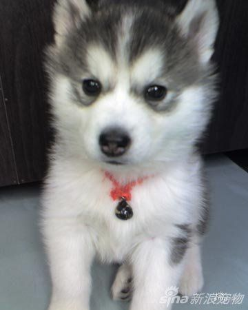 Husky puppy :) wish it had one blue eye and one brown eye