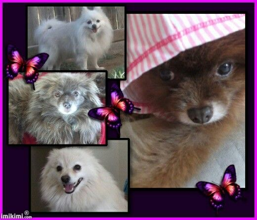My Beautiful Pomeranian Rescues....