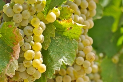 A melhor apresentação que se pode fazer dessa variedade é essa: a Chardonnay é a principal uva da qual é feito o champagne, aquele vinho espumante da Denominação de Origem de mesmo nome. Mas reduzir essa uva de origem francesa a apenas isso seria uma heresia.A Chardonnay é a mais popular das variedades brancas, e pode ser de fabulosa a desonesta, depende da qualidade do produtor. Pela diversidade de sabores e aromas que produz de acordo com o local e a maneira que se lida com a uva, os…