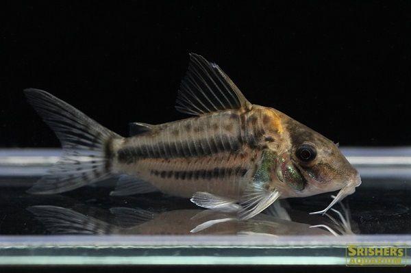 コリドラス ブリットイn3 学名 Corydoras Brittoiサイズ 約6cm コリドラス プレコ 魚