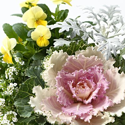 【ネット限定】季節の寄せ植え 葉牡丹 M 白 | 無印良品ネットストア