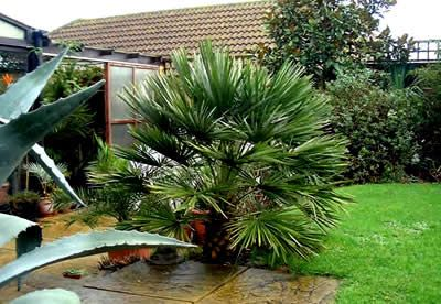 Buy European Fan Palm - Chamaerops humilis - 3 Gallon - Palm Trees - Buy Plants Online