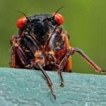 Periodical Cicadas Are Back! » PBS NewsHour Extra   PBS