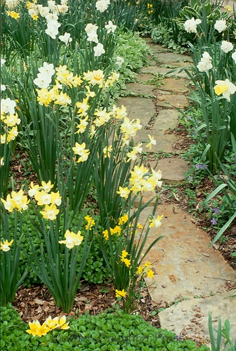 Stepping stone path lined by jonquils with vinca minor blooming through  spring garden70 best Garden Stepping Stones   Pathways images on Pinterest  . Garden Paths And Stepping Stones. Home Design Ideas