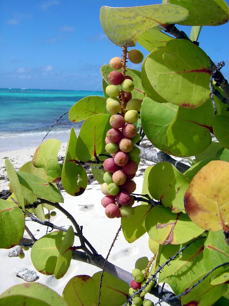 We ate sea grapes on Jensen Beach.  They are sooo delicious.  Taste like pomegranate.
