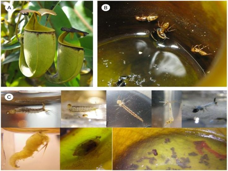 When these ants are hatched, they have only one role in life, to serve the pitcher plant as cleaners, trappers and underwater divers. #ants