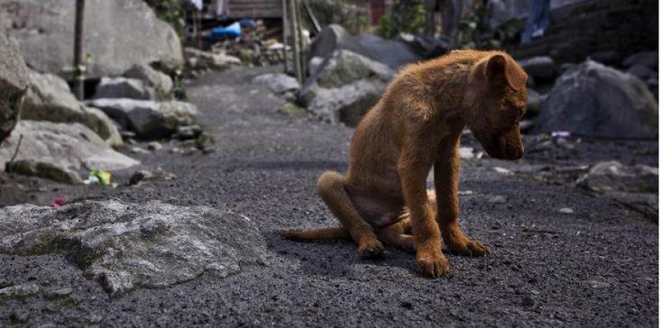 Des chiens abattus en masse pour lutter contre la rage : la polémique enfle à Bali. Les autorités indonésiennes ont également pris des mesures qui ont abouti à la vaccination de plus de 300.000 chiens contre la rage, faisant chuter drastiquement le nombre de décès parmi les humains qui ont contracté le virus à Bali. Depuis 2012, dix personnes ont succombé à la maladie, contre 147 quelques années auparavant.