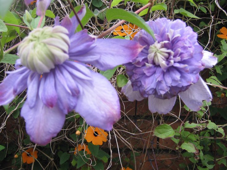 My Clematis Traralgon the last plants Mum and I bought for each other. We were struck dumb by its beauty. We had never before seen a double before