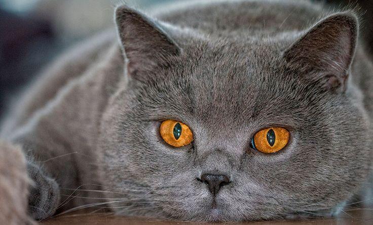 Британская короткошерстная кошка, Порода кошек Британская короткошерстная, Британская Кошка, British shorthair cat