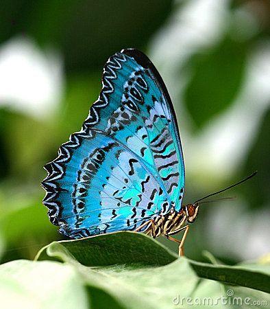 Mariposa azul en la hoja verde