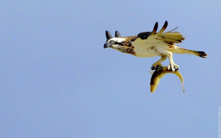 Oiseau Balbuzard Pecheur 3.jpg