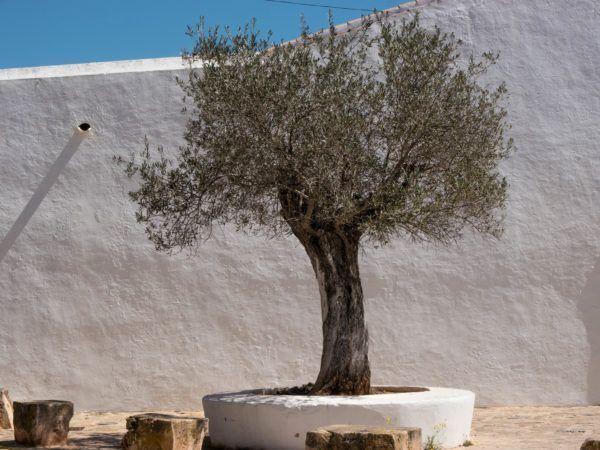 Olivenbaum Schneiden Schritt Fur Schritt Schneide Anleitung Olivenbaum Schneiden Olivenbaum Olivenbaumchen