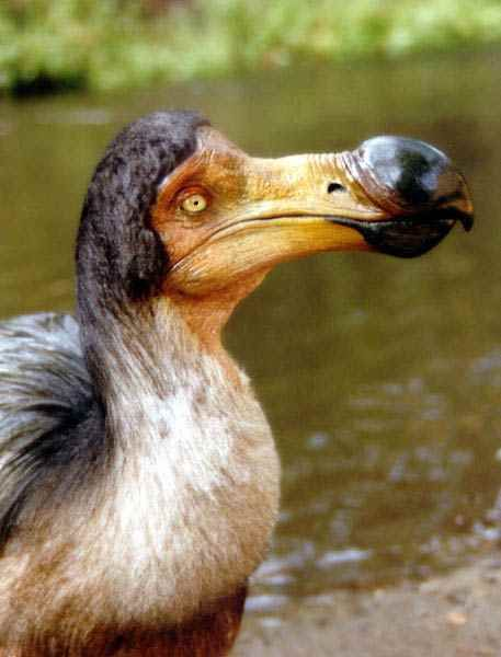 Dodo bird extinction date in Melbourne