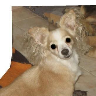 Cruce de chihuahua de pelo corto perdida el 5 de Enero de 2012.Pesa  unos 3kg y de color canela. Atiende por LINDA. Es muy cariñosa. Se  asustó por el ruido de los cohetes y petardos. Tiene un collar  antiparásito y tiene chip.
