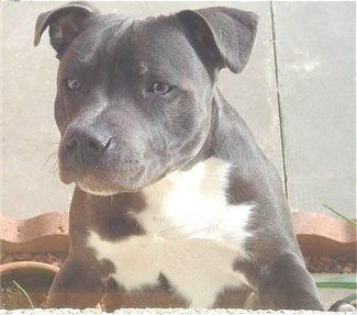 Staffordshire Bull Terrier Puppy Dogs