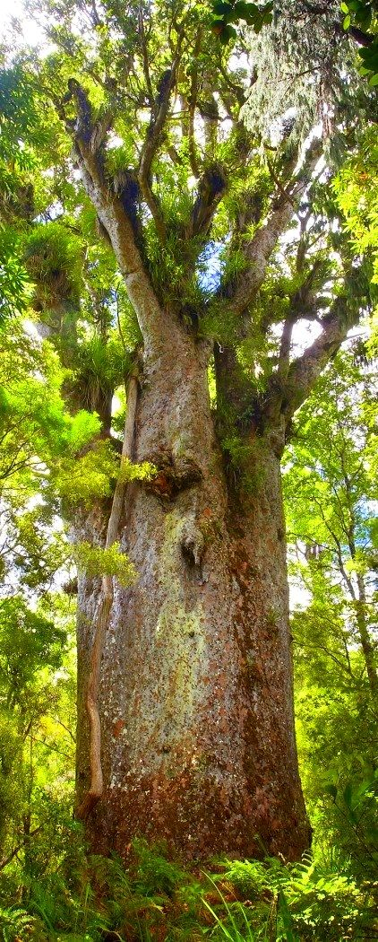 "Waipoua Forest - Standing tall and strong as Maori warriors, New Zealand's kauri trees are a sight to behold. Once felled sustainably for boat materials and gum by the Maori, the kauri suffered huge deforestation at the hands of European settlers. Waipoua is one of the country's best-preserved pockets of kauri woodland. It's also home to its mightiest tree, the 2000-year-old Tane Mahuta, or ""God of the Forest""."