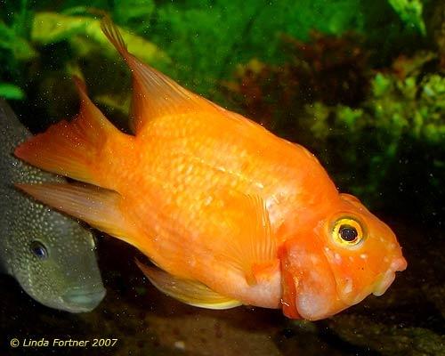 Blood parrot cichlid fish flashcards pinterest for Blood parrot fish