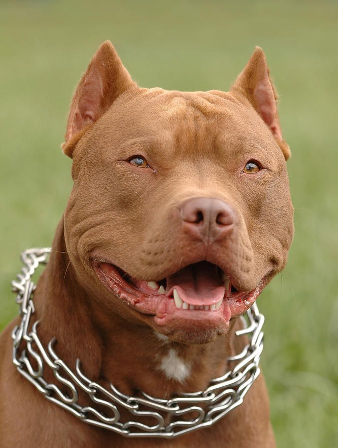 pitbull dogs | Pitbull Red Nose Dog Portrait Photograph