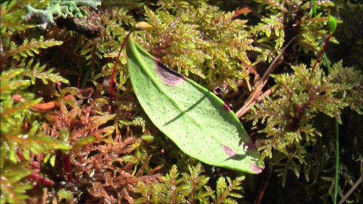 Leta blåbärsblad och lingonblad tidigt på våren med NATURSPANARNA!