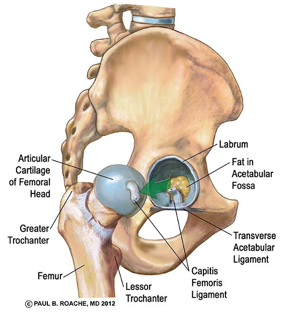 Human hip anatomy