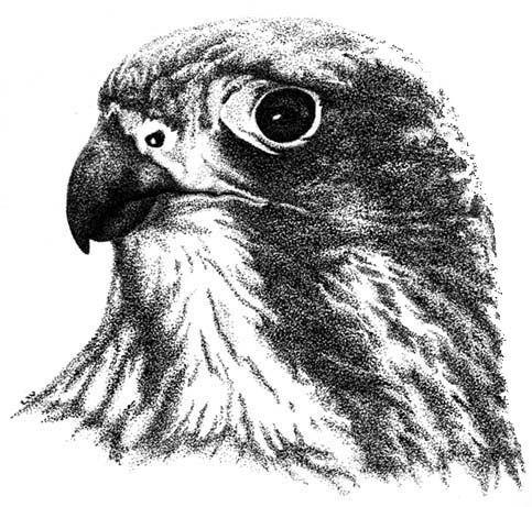 野生生物のイラストニュージーランドファルコンLynette Weir