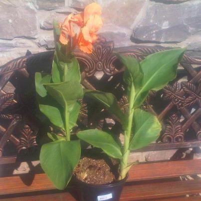 Did you know that Canna's make excellent plants for Water Gardens?  I got this for 5 bucks at Walmart!  #gardenchat