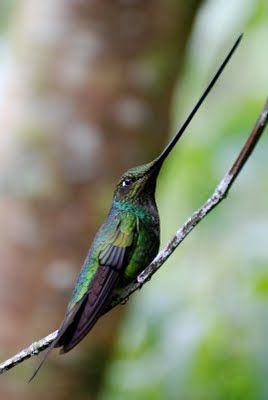 Sword-billed hummingbird is a species of hummingbird from South America. It is noted as the only species of bird to have a bill longer than the rest of its body. This adaptation is to feed on flowers with long corollas. The tongue is therefore also unusually long. Since the Sword-billed Hummingbird's beak is so long, it grooms itself with its feet. From base of the bill to the tail tip this species is approximately  14cm long. Photo: Derek Kverno