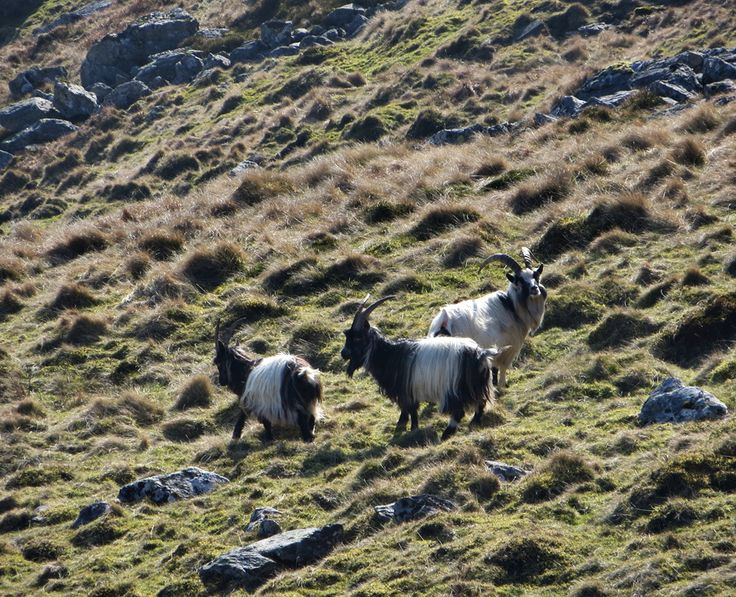 ICONIC WELSH HILL FARM PART II by Mike Howe - Goats