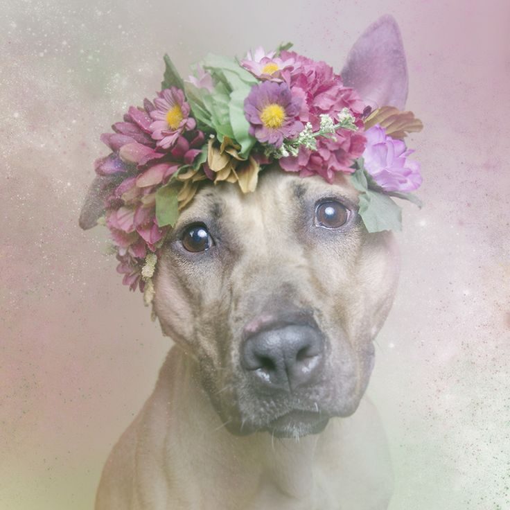 """Sophie Gamand's """"Flower Power"""" aims to help pit bulls awaiting adoption find a home (9/11)"""