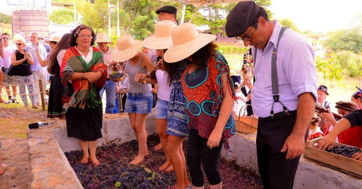 Vinícola em São Roque (SP) terá colheita e pisa da uva para o público