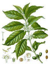 Coffee Plant - Coffea arabica - Growing Coffee Plants Indoors