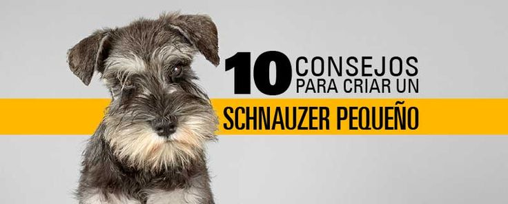 ¡10 consejos para criar un Schnauzer pequeño!    Si eres de esas personas que por espacio, personalidad y estilo de vida prefieren los perros pequeños, el Schnauzer con su personalidad única y algunas veces introvertida va a ser un excelente compañero de vida.