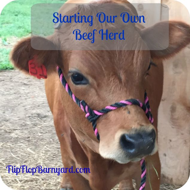 As a family we have a goal of raising most of our own food....... Starting our own beef herd is one way of reaching that goal.....