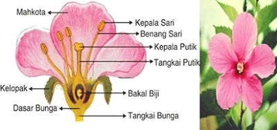 bagian bagian bunga kembang sepatu beserta fungsinya,ciri bunga kembang sepatu,klasifikasi bunga kembang sepatu,morfologi kembang sepatu,struktur bunga sepatu,bagian bunga sepatu dan keterangannya,