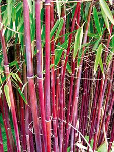 Roter Gartenbambus Jiuzhaigou - Solitär-Stauden Stauden Pflanzen & Pflanzgut - im Gartenversandhaus von N.L.Chrestensen