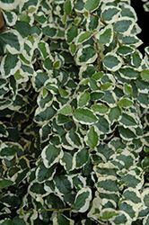 Click to view full-size photo of Variegated Creeping Fig (Ficus pumila…