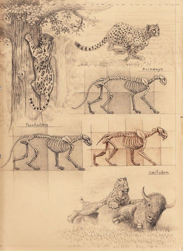 Scientific Illustration | theolduvaigorge: Sabertooth diaries 1: excavating...