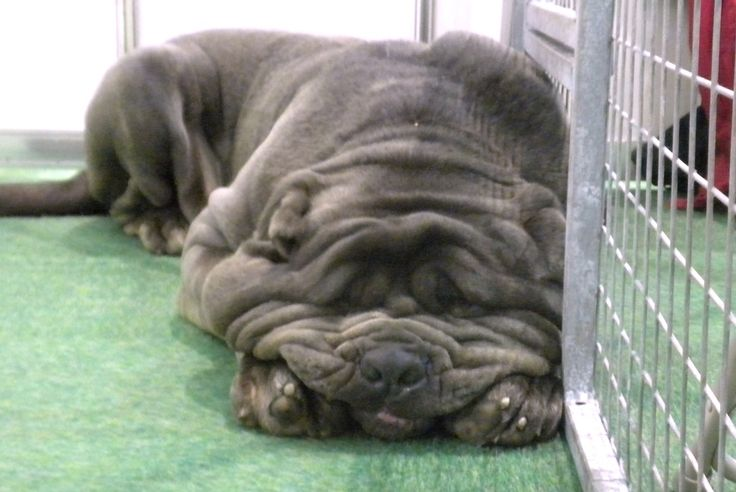 full grown neopolitan mastiff...so hilarious