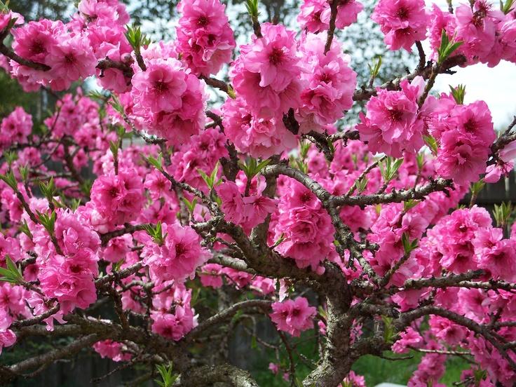 Golden Bonanza True Genetic Dwarf Peach Tree It Has