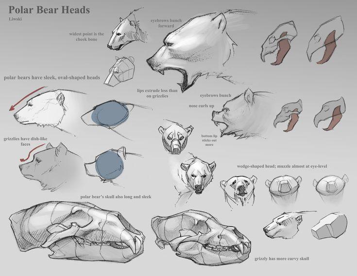 Anatomy of a polar bear