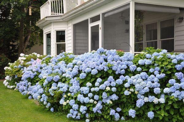 Blue Moon Hydrangea- massive plantings... Great look!!