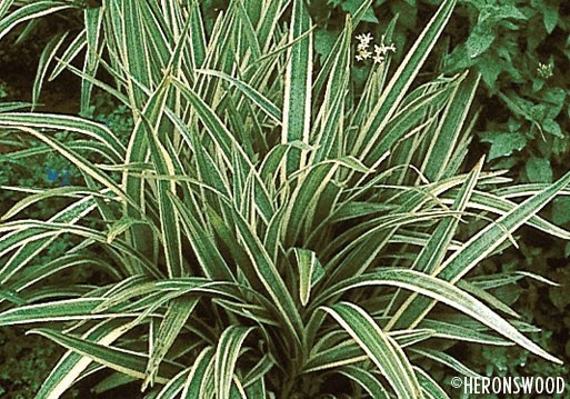 Daniella tasmanica variegata white variegated flax shade for Variegated grass plant